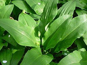 Allium-ursinum-02.jpg
