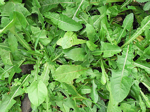 genre Taraxacum