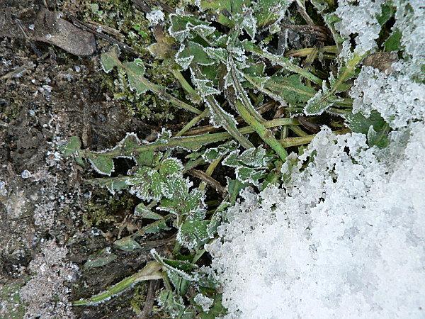 Taraxacum-dens-leonis-1.JPG