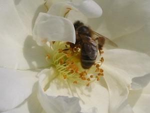 fleur-abeille