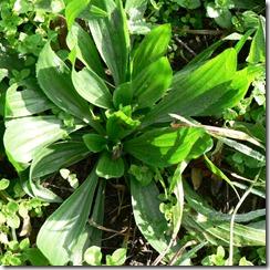 Plantain Plantago