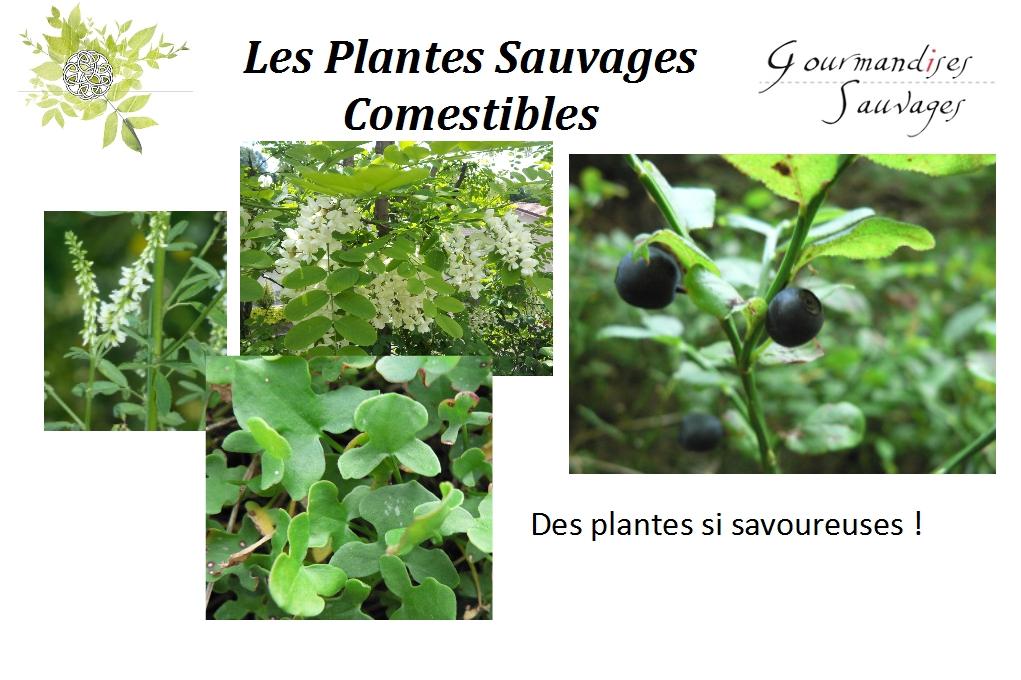 Lancement 2 formation plantes sauvages comestibles en for Plante en ligne