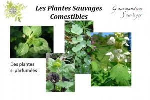 Formation Plantes Sauvages Comestibles en Ligne 25
