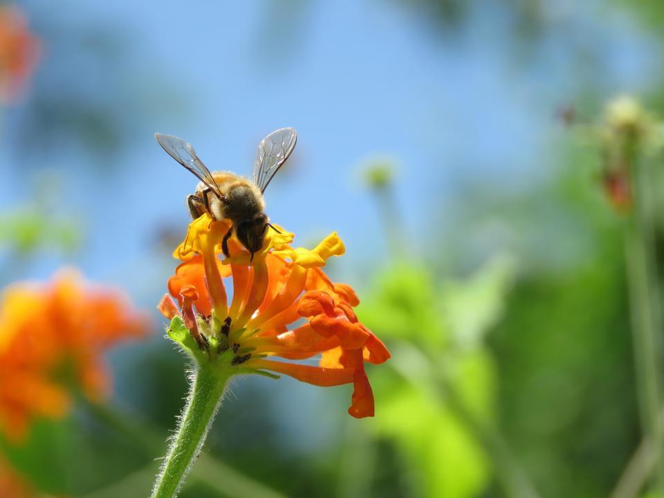 Pollinisation Abeille fleur