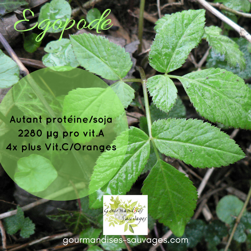 Plantes Sauvages Comestibles -Egopode