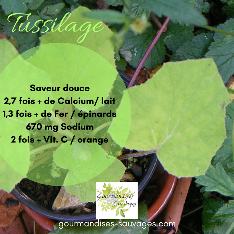 Plantes Sauvages Comestibles -Tussilage